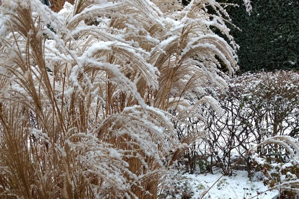 Großes Ziergras im Winter mit Schnee